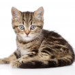 Scottish kitten looking at camera. — Stock Photo