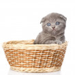 British shorthair kitten — Stock Photo