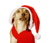 Dog in red christmas Santa hat — Zdjęcie stockowe