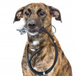 Stock Photo: Dog with a stethoscope on his neck isolated on white background