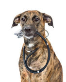Dog with a stethoscope on his neck isolated on white background — Stock Photo