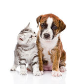 Scottish kitten and cute puppy. Isolated on white background — Stock Photo