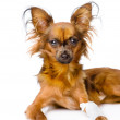 Russian toy terrier with an injured leg. — Stock Photo #37695327