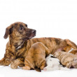 The adult dog feeds the puppies. — Stock Photo