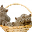Group british shorthair kittens in basket. — Stock Photo #37695419