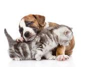Puppy hugs scottish kitten. — Stock Photo