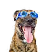 Dog wearing swimming goggles — Stock Photo