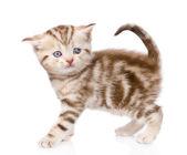 Gatito escocés — Foto de Stock
