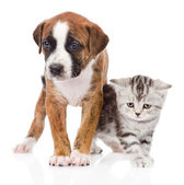 Scottish kitten and cute puppy together — Stock Photo