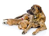 Dog feeds puppies — Stock Photo