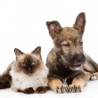 Puppy and siamese cat together. — Stock Photo