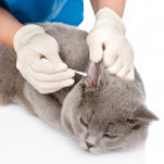 Veterinarian cleans ears cat. — Stock Photo