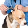 Foto de Stock  : Vet examining dog's ear with otoscope.
