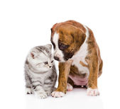 Scottish kitten and cute puppy — Stock Photo
