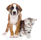 Scottish kitten and puppy — Stock Photo