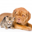 Bordeaux puppy dog and bengal kitten together — Stock Photo