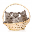 Group british shorthair kittens in basket. — Stock Photo #39845633