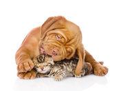 Bordeaux puppy dog licking bengal kitten. — Stock Photo