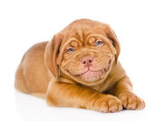 Happy smiling Bordeaux puppy dog. — Stock Photo