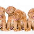 Group Bordeaux puppy dog. — Stock Photo