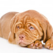 Sad Bordeaux puppy dog. — Stock Photo #40153209