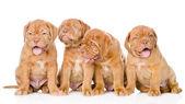 Group Bordeaux puppy dog. — Stock Photo