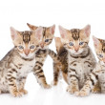 Group bengal kittens — Stock Photo #40517989