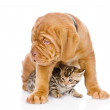 Stock Photo: Bordeaux puppy dog and bengal kitten