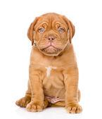 Bordeaux puppy dog — Stock Photo