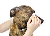Veterinarian cleans eyes to a dog — Stock Photo