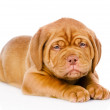 Stock Photo: Sad Bordeaux puppy dog