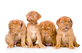 Group Bordeaux puppy dog — Stock Photo