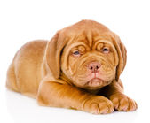 Sad Bordeaux puppy dog — Stock Photo
