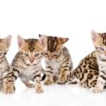 Постер, плакат: Bengal kittens