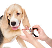 Cutting dog toenails. — Stock Photo