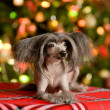 Chinese crested dog puppy lying in front — Stock Photo