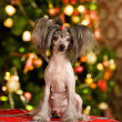Chinese crested dog puppy sitting in front — Stock Photo