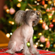 Chinese crested dog puppy looking away — Stock Photo