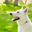 Purebred White Swiss Shepherd in profile — Stock Photo