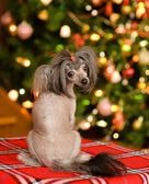 Chinese crested puppy dog looking back — Foto de Stock