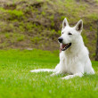 Purebred White Swiss Shepherd lying in park — Stock Photo