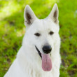 Portrait Purebred White Swiss Shepherd in front — Stock Photo