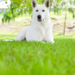 Purebred White Swiss Shepherd lying on the grass — Stock Photo