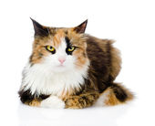 Calico cat in front. — Stock Photo