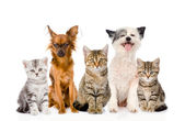 Large group of cats and dogs sitting in front. isolated on white — Stock Photo