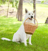 Purebred White Swiss Shepherd holding a basket in its mouth — Stock Photo