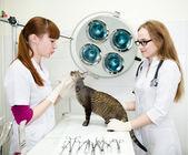 Tierärzte untersucht eine Katze im Büro — Stockfoto