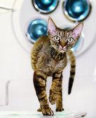 Devon rex cat in veterinary clinic — Stock Photo