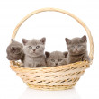 Group british shorthair kittens in basket. — Stock Photo #42910075