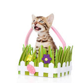Purebred bengal kitten in the toy basket looking up. — Stock Photo